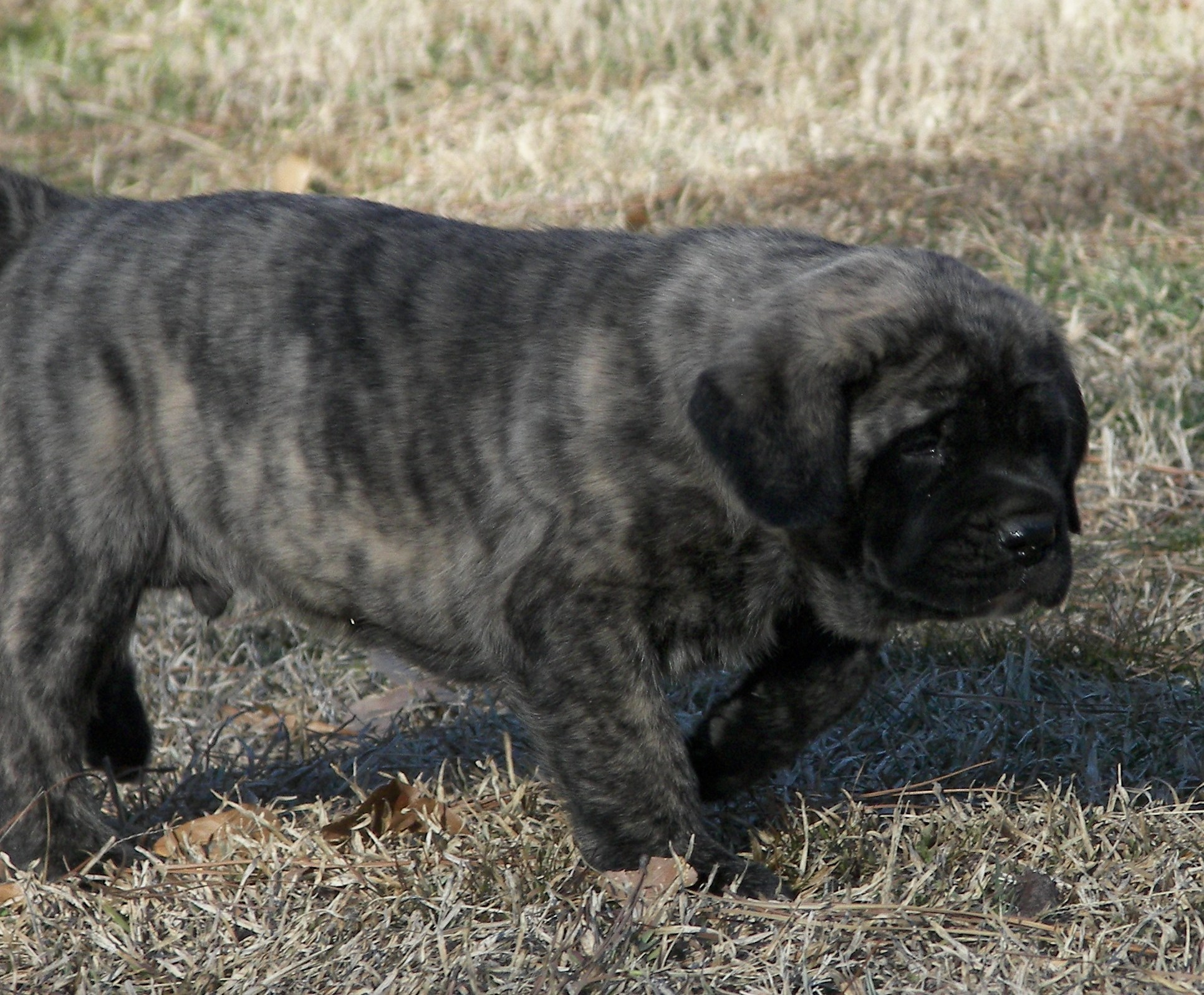 Mastiff Puppies for sale – Two Ponds Kennel