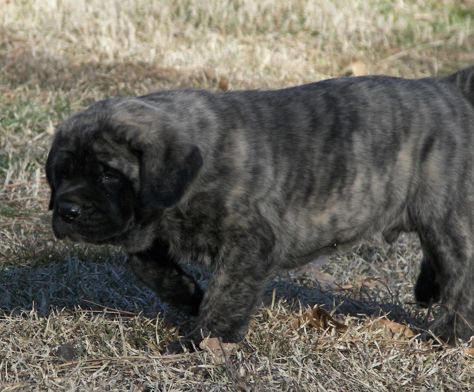 Brindle mastiff puppy 2ponds kennel