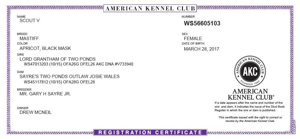 Scout AKC certificate